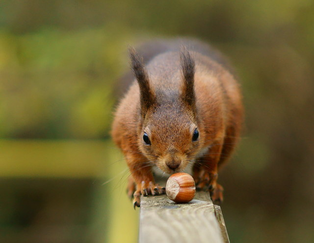 squirrel with hazelnut