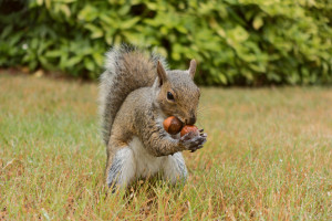 squirrel_139__this_has_to_work__by_easterngraysquirrel-d7oty5m