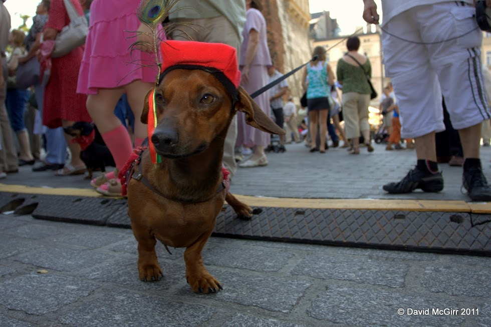 A sausage dog dressed to win the city crown at 2011's parade (phot. David McGirr)