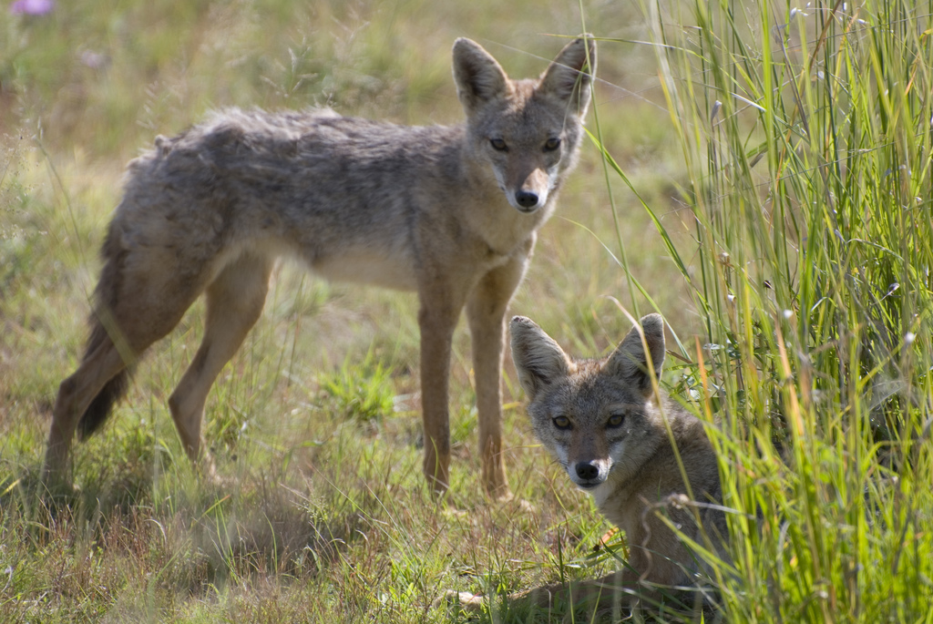 Golden Jackals, which are rare in Poland