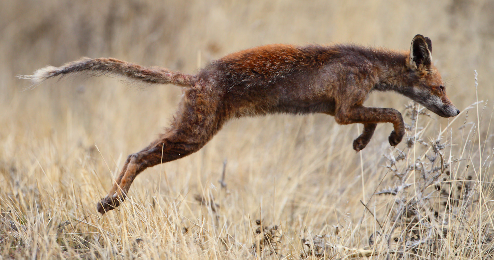 A red fox with scabies