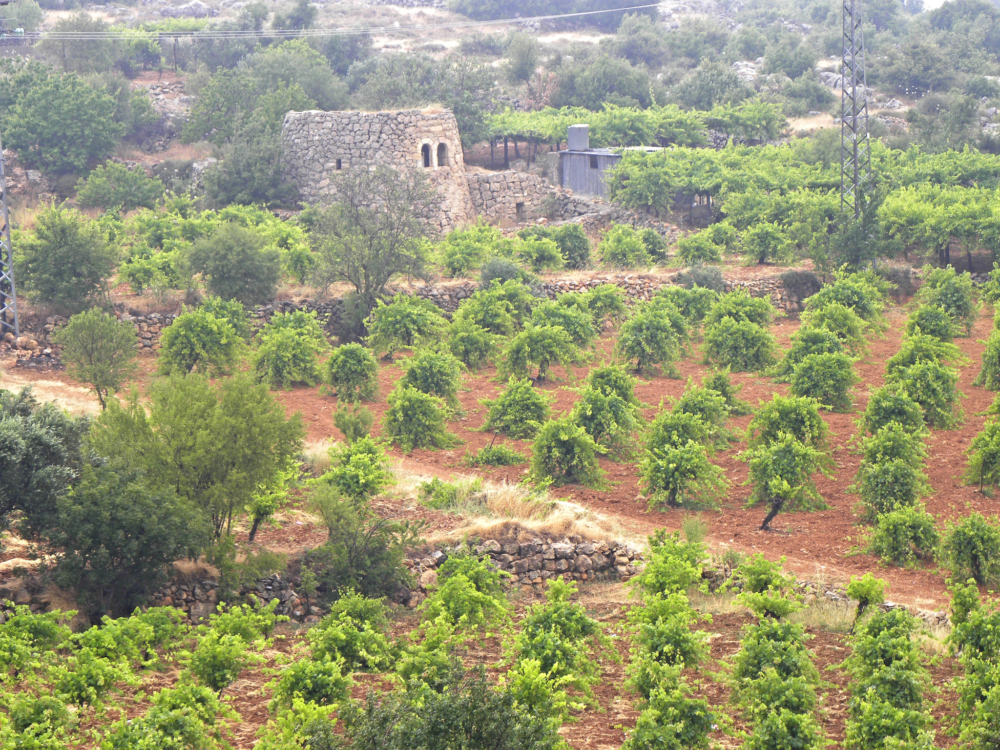 A vineyard in Israel. Israeli wine will be one of the topics you can learn about during this year's Jewish Culture Festival, which begins this week (phot. Ian Scott)