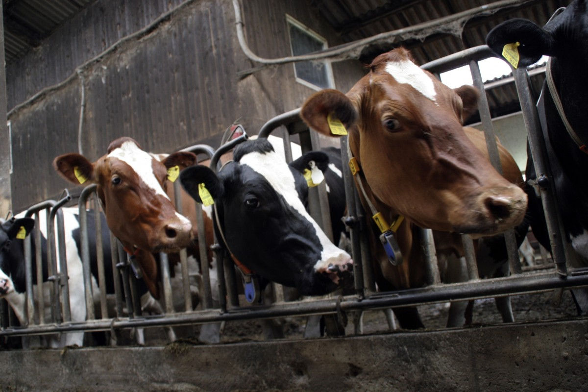 Animal farming produces more greenhouse gases worldwide than the transport sector