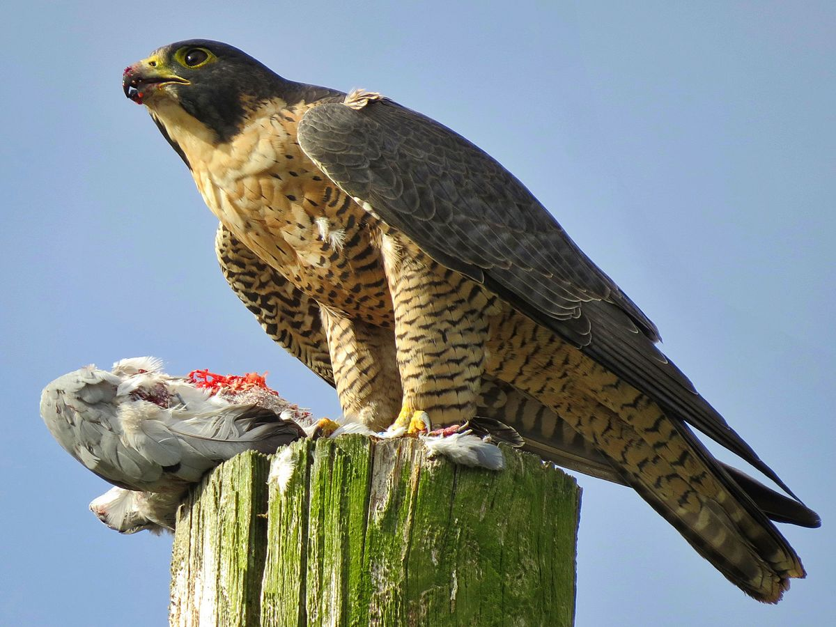 A peregrine falcon with a fresh kill