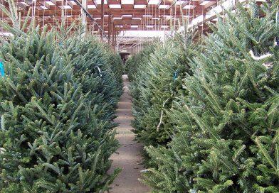 Where do Poles get their Christmas trees?