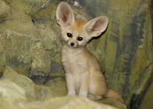 Fox Family Moves to Krakow Zoo